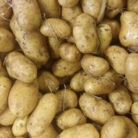 patate * pomme de terre Ditta